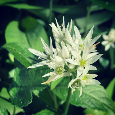 A close up image of white wild garlic flowers - Click to open full size image