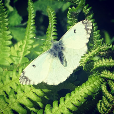A lare cabbage white with wings outstretch on a fern - Click to open full size image