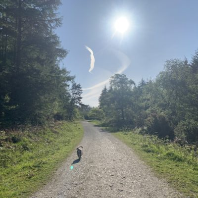 Dog walking along a fire path between trees with a blue sky - Click to open full size image