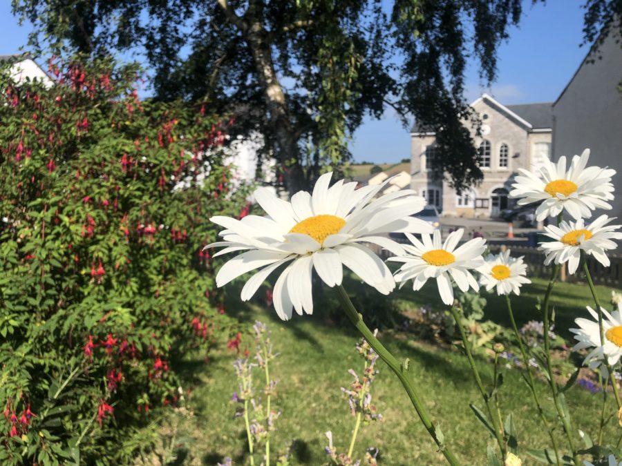 Daisy in the Garden in Chudleigh