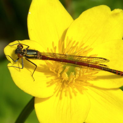 Large Red Damselfly Pyrrhosoma Nymphula M On Marsh Marigold Flower P1190872 - Click to open full size image