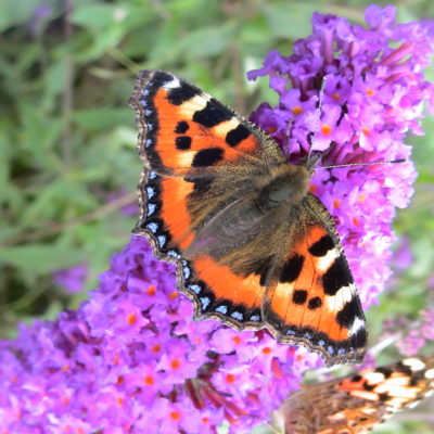 Small Tortoiseshell On Buddleia - Click to open full size image