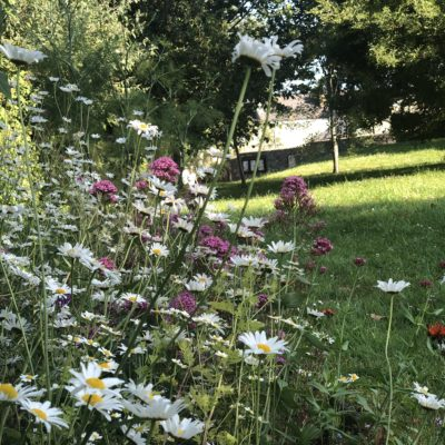 White Ox Eye Daisies At Culver Park - Click to open full size image