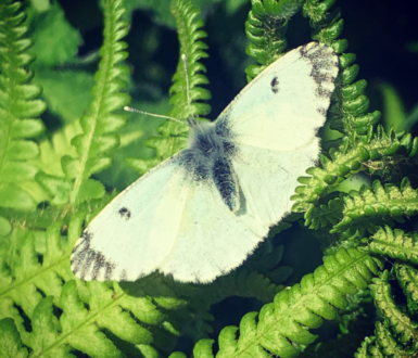 Butterflies of Chudleigh Parish