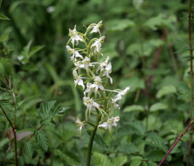 Image For Flora Greater Butterfly Orchid